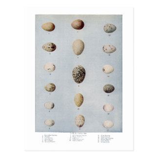 Bird Eggs Plate B Vintage Natural History Postcard