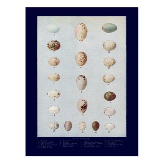 Bird Eggs Plate C Vintage Natural History Postcard