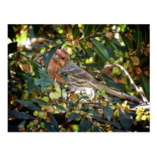 Bird - House Finch Postcard