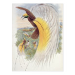 Bird of Paradise, from 'Birds of New Guinea' Post Card