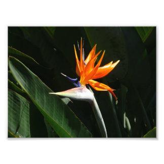 Bird of Paradise Orange Tropical Flower Photo