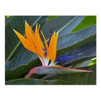 Bird of Paradise Postcard