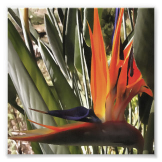 Bird of Paradise (Strelitzia) Photo Print