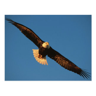 Bird of Prey, Bald Eagle in flight, Kachemak Postcard