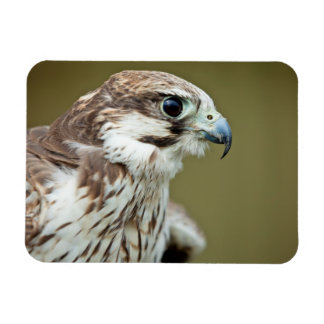 Bird of prey falcon close up rectangular photo magnet