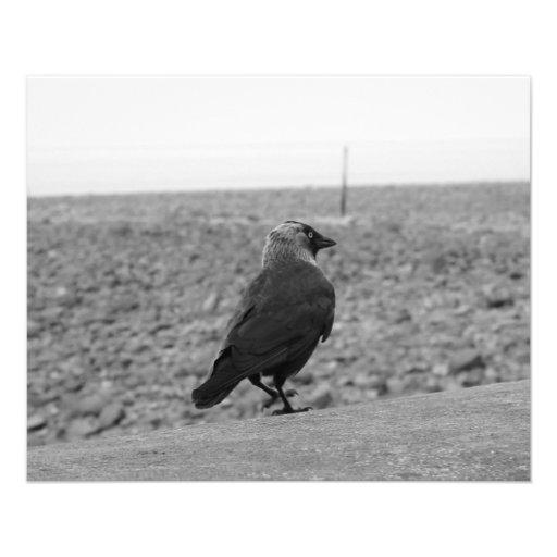 Bird Picture. Jackdaw. Flyers