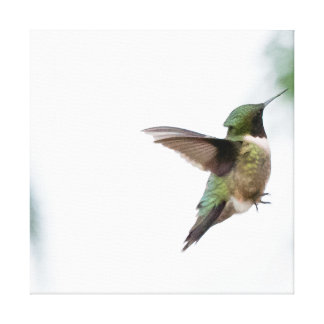 Bird Ruby-throated Hummingbird Stretched Canvas Print