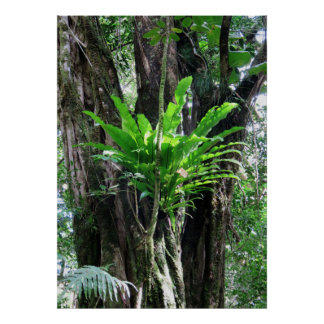 Bird's Nest Fern Poster