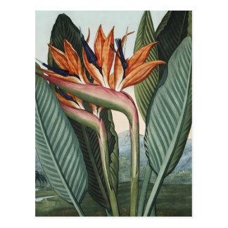 Birds of Paradise Vintage Art Postcard