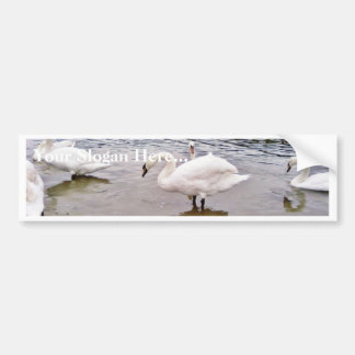 Birds Swans In Tikvara Lake Car Bumper Sticker
