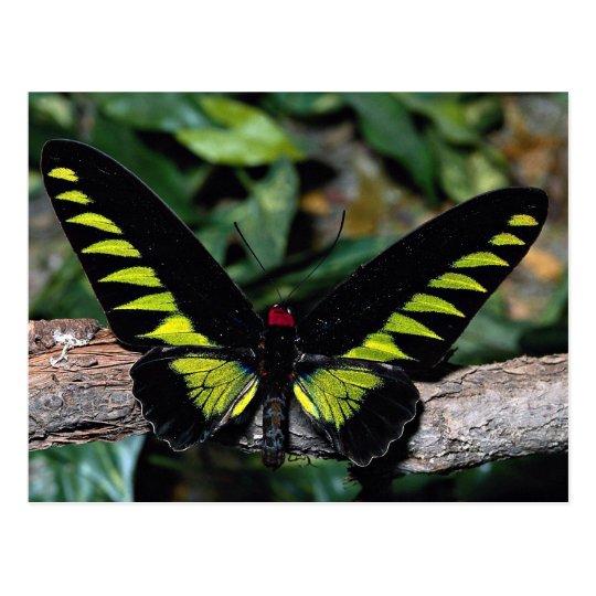 Birdwing butterfly, Trogonoptera brookiana, Malays Postcard