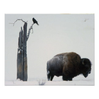 Bison and raven poster