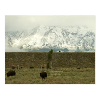 Bison at Grand Teton National Park Photography Postcard