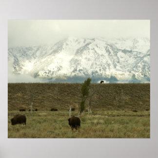 Bison at Grand Teton Poster Print