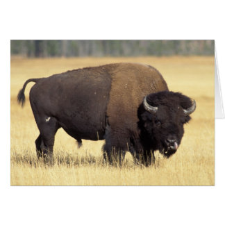 bison, Bison bison, bull in Yellowstone National Card