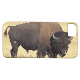 bison, Bison bison, bull in Yellowstone National iPhone 5 Cover
