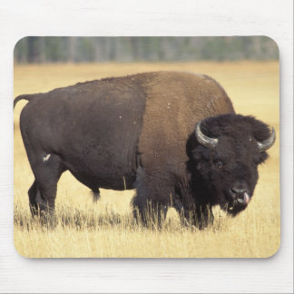 bison, Bison bison, bull in Yellowstone National Mouse Mat