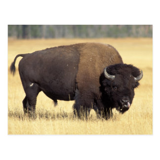 bison, Bison bison, bull in Yellowstone National Postcard