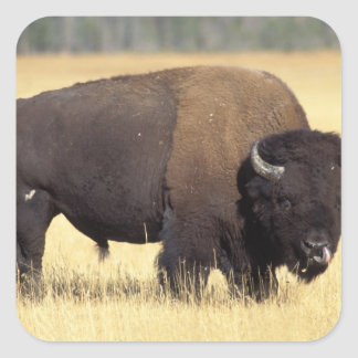bison, Bison bison, bull in Yellowstone National Square Sticker
