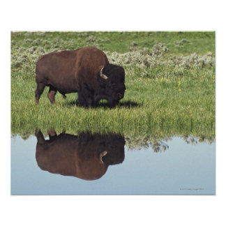 Bison (Bison Bison) On Grassy Meadow Posters