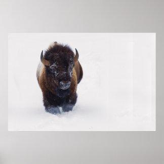 Bison Bull 1 Poster