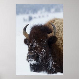 Bison Bull 2 Poster