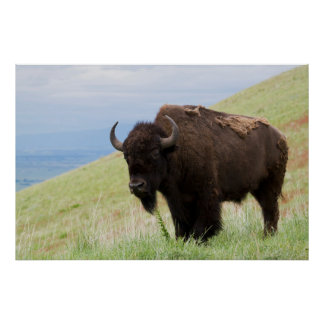 Bison Bull 3 Poster