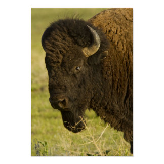 Bison bull at the National Bison Range, Posters