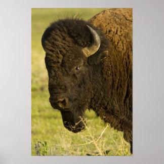 Bison bull at the National Bison Range, Poster
