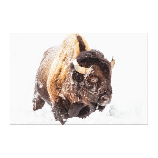 Bison bull foraging in deep snow stretched canvas prints