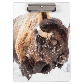 Bison bull foraging in deep snow clipboard