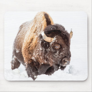 Bison bull foraging in deep snow mouse pad