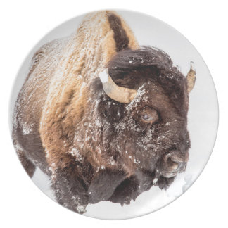 Bison bull foraging in deep snow plate