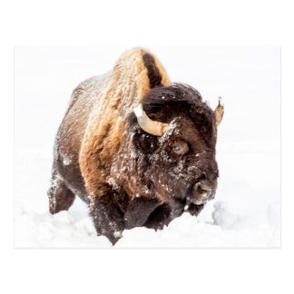 Bison bull foraging in deep snow postcard