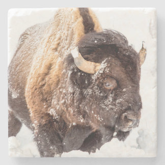 Bison bull foraging in deep snow stone coaster