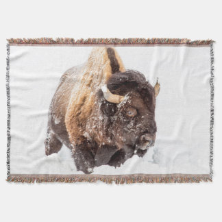 Bison bull foraging in deep snow throw blanket