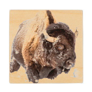 Bison bull foraging in deep snow wood coaster