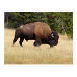 Bison Bull in Yellowstone National Park Post Card