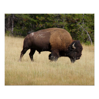Bison Bull in Yellowstone National Park Poster