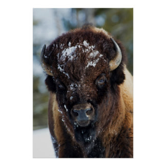 Bison Bull, winter 1 Poster