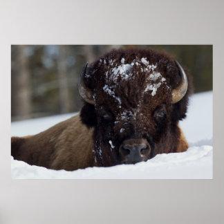 Bison Bull, winter 2 Poster