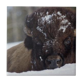 Bison Bull, winter 2 Tile