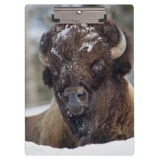 Bison Bull, winter 3 Clipboard