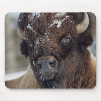 Bison Bull, winter 3 Mouse Pad