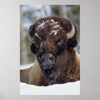 Bison Bull, winter 3 Poster