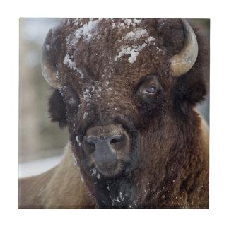 Bison Bull, winter 3 Tile
