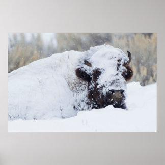 Bison Bull, winter coat Poster
