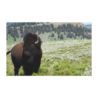 Bison Bull, Yellowstone National Park Canvas Print