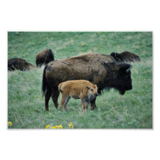 Bison cow and calf posters