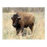 Bison Cow in Flint Hills, Kansas Post Cards